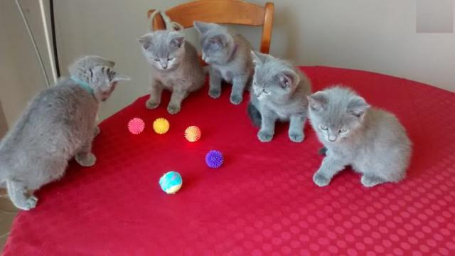 Beaux Chatons chartreux Race Pure Animaux
