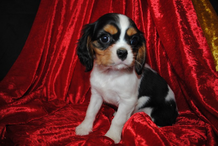 À donner chiot cavalier king charles Animaux