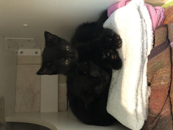 2 chatons noirs femelles à donner  Animaux