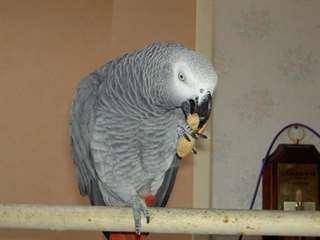 A Donner Perroquet Gris du Gabon mâle avec sa cage Animaux