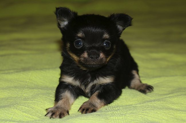 A adoptez Chiot Chihuahua Femelle Animaux