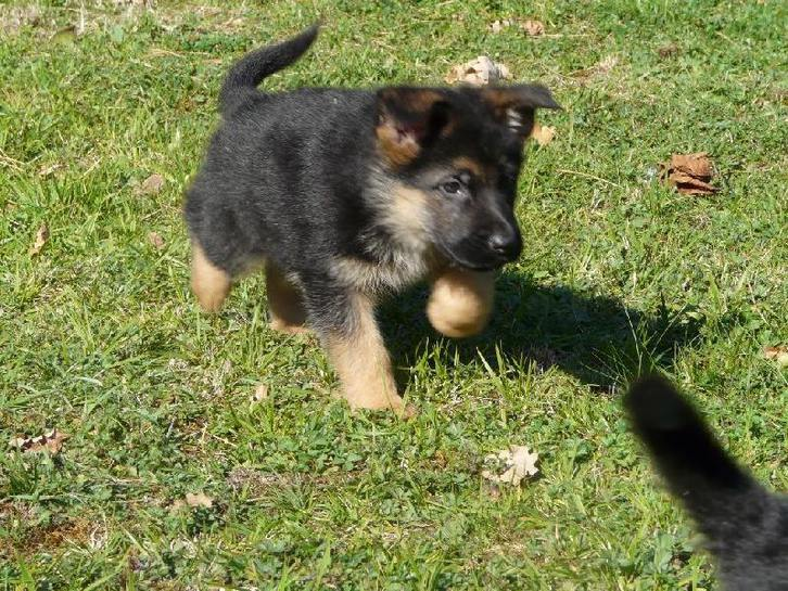 A donner Chiots berger allemand  Animaux