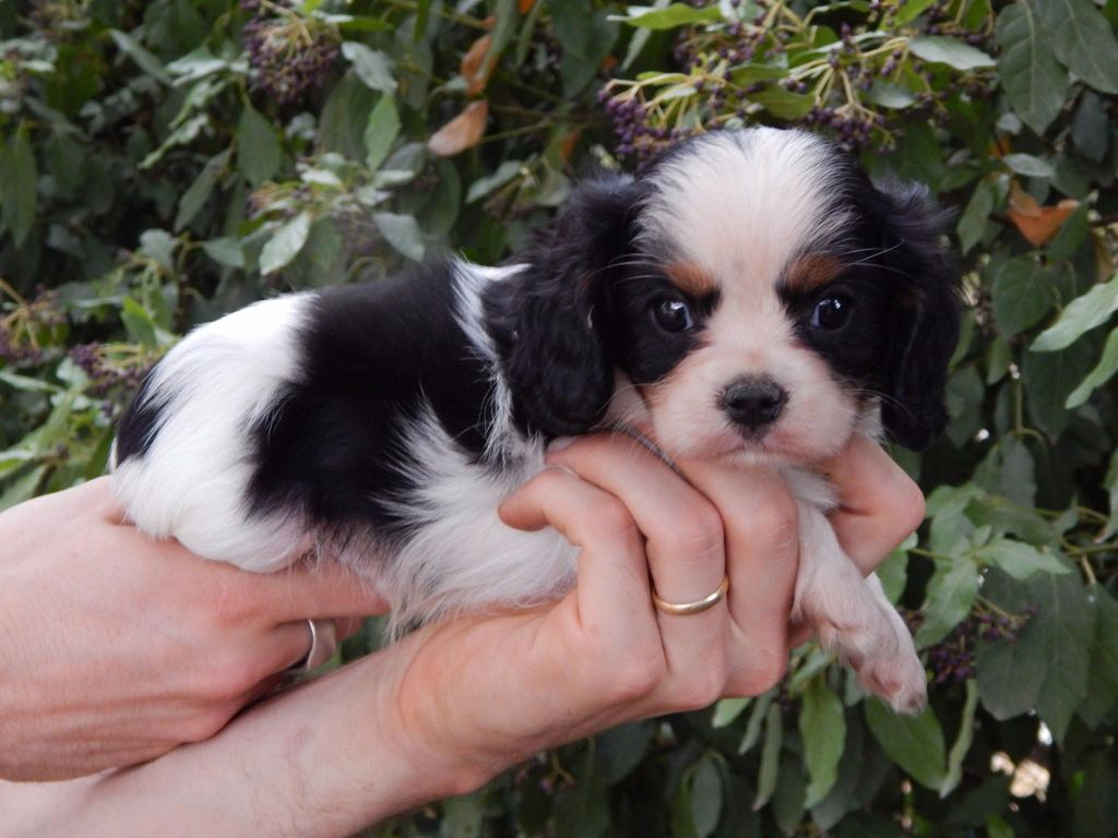 Donne femelle Chiot Cavalier king charles Animaux