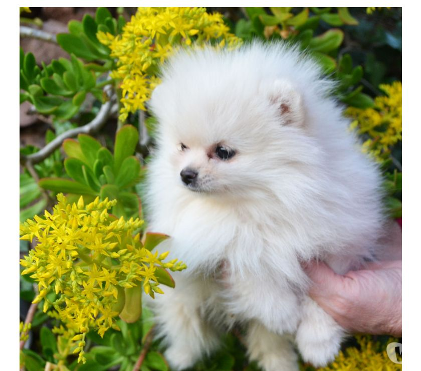 Adorable Chiot Spitz Allemand femelle Animaux