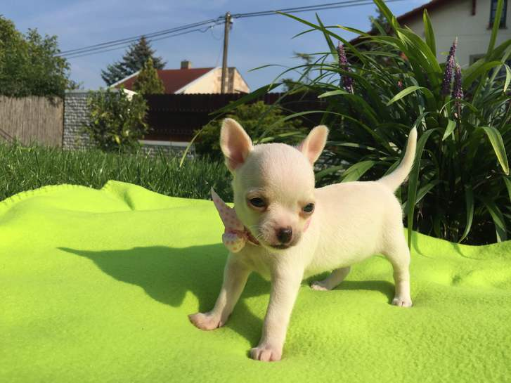 Adorable chiot Chihuahua à donner Animaux