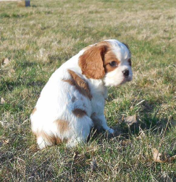 Cavalier King Charles Femelle A DONNER Animaux