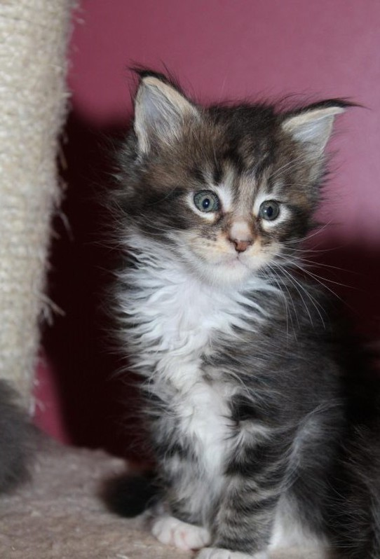 Chatons Maine Coon Animaux