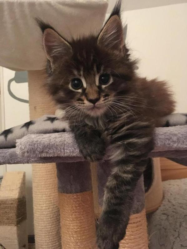 Chatons Maine Coon Animaux 2