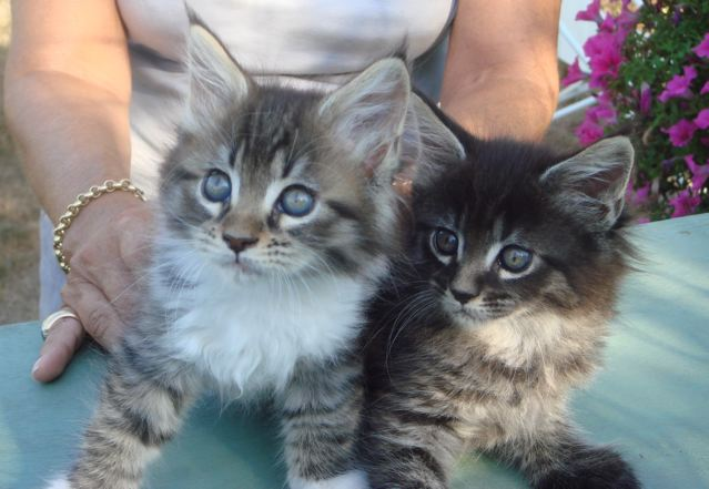 Maine coon chaton don
