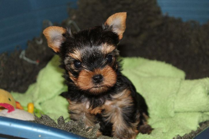 Chiot Mini Femelle Yorkshire lof a donner Animaux