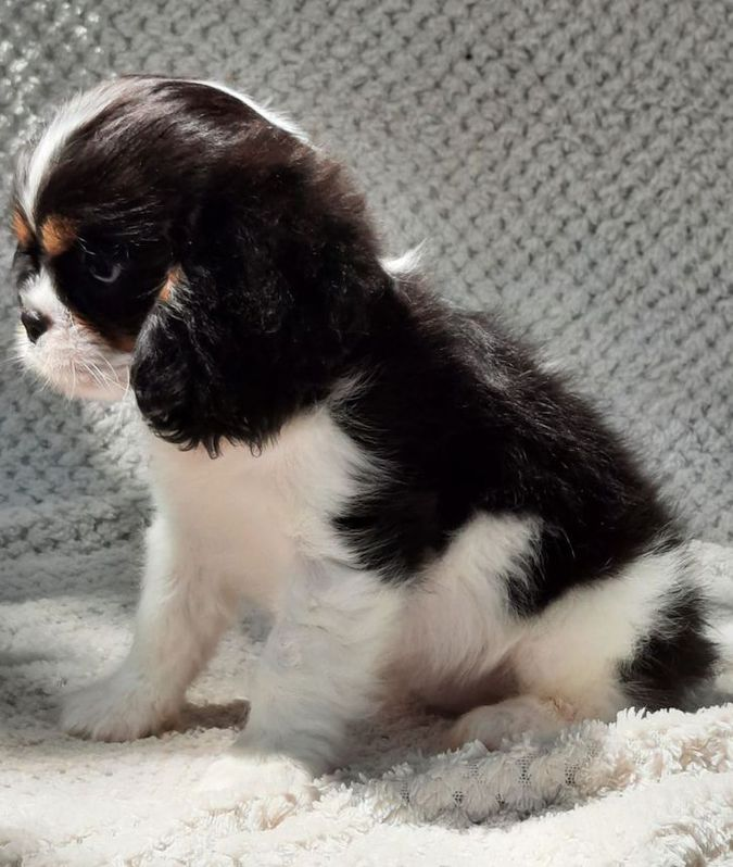 Chiots Cavalier King Charles Spaniel Animaux