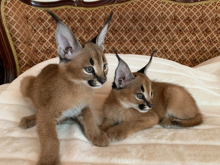 chatons serval et caracal disponibles  Animaux 3