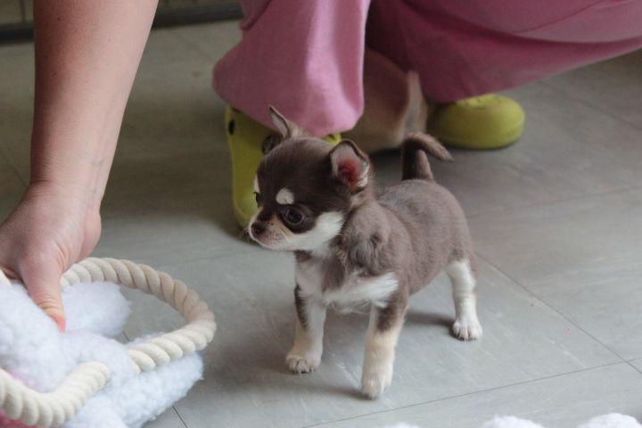 chiot  chihuahua à cèder Animaux