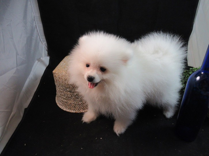 chiot type Spitz allemand non lof Animaux
