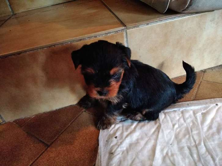 chiot yorkshire lof Animaux 2