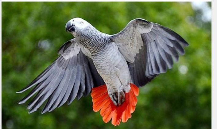 perroquet gris du gabon Animaux