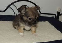 Chiot chihuahua femelle non lof a donner