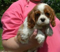 A donner  magnifique chiot Cavaliers king Charles