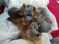 Beaux Chatons chartreux Race Pure