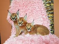 chatons serval et caracal disponibles