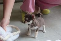 chiot  chihuahua à cèder
