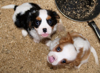 chiots cavalier king charles a donner